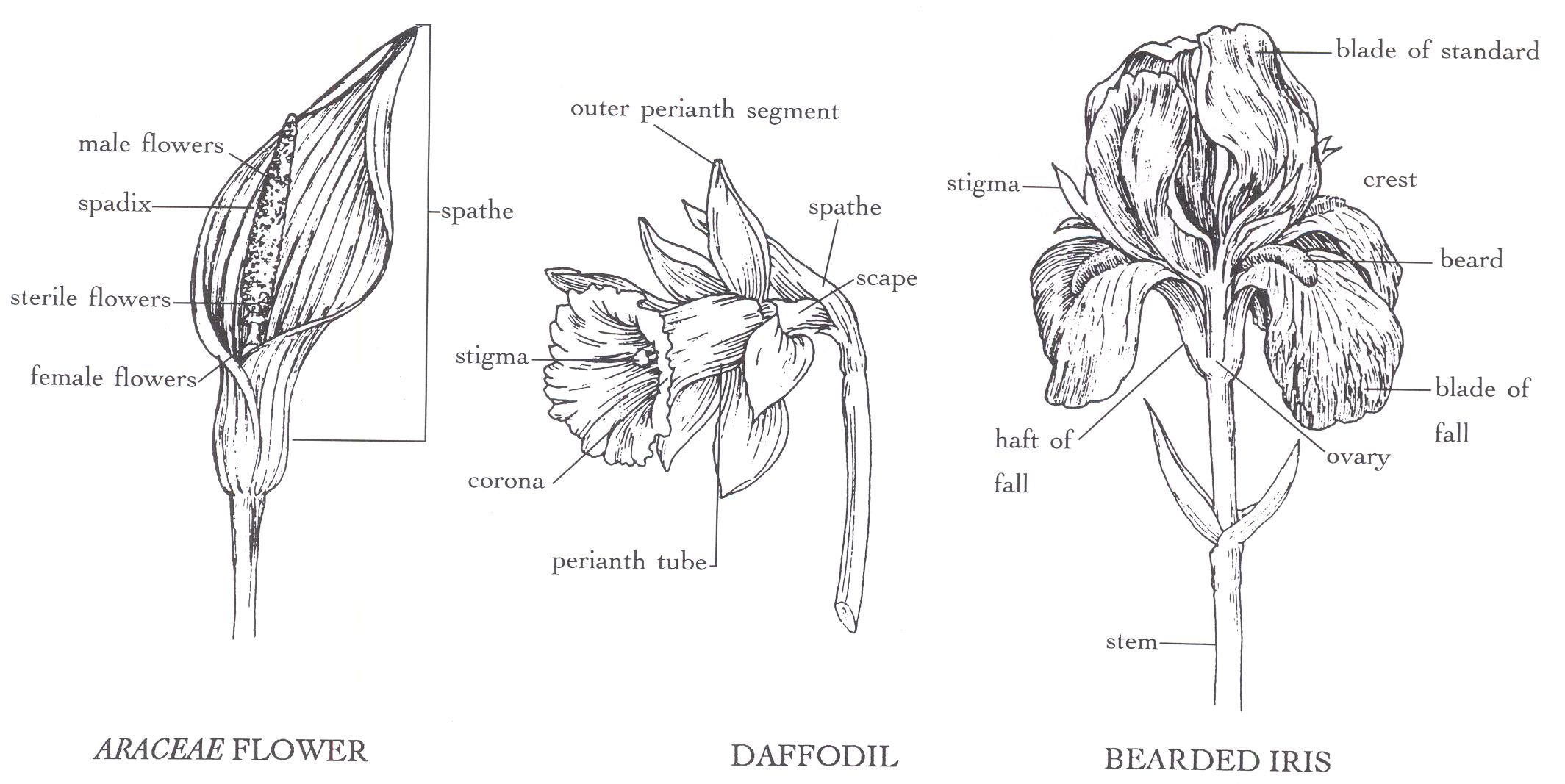 Daffodil Plant Diagram Product Wiring Diagrams